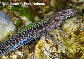 Wall Lizard - Podarcis muralis - Adult male